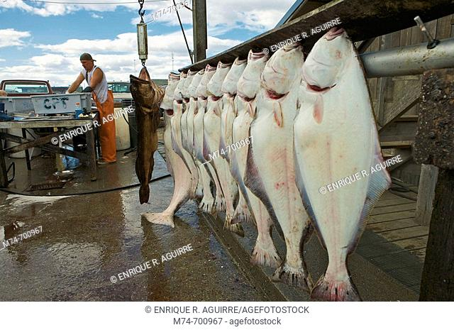 Halibut at fish market, Homer, Alaska