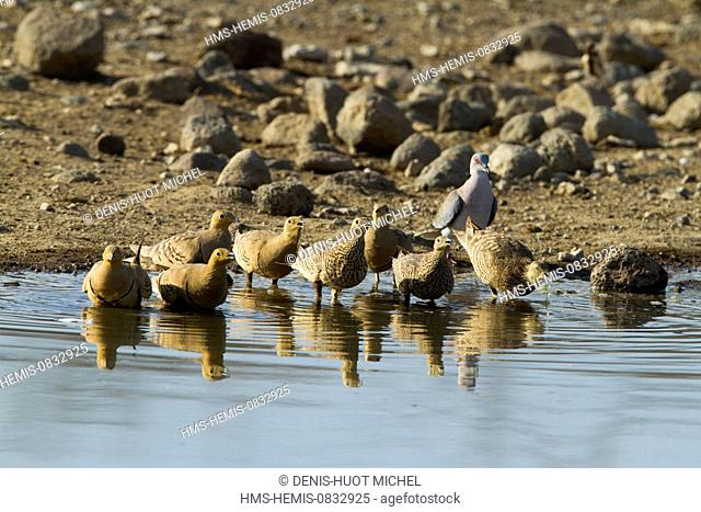 Kenya, Rift Valley, Magadi Lake, Chestnut bellied Sandgrouse (Pterocles exustus)