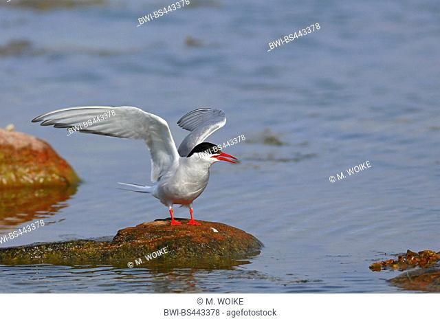 arctic tern (Sterna paradisaea), stands at a stone with raised wings, Finland, Aland