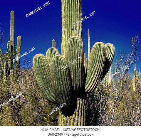 Unusual shapes are formed by the Giant Saguaro Cactus at Saguaro National Park, Arizona. U.S.A