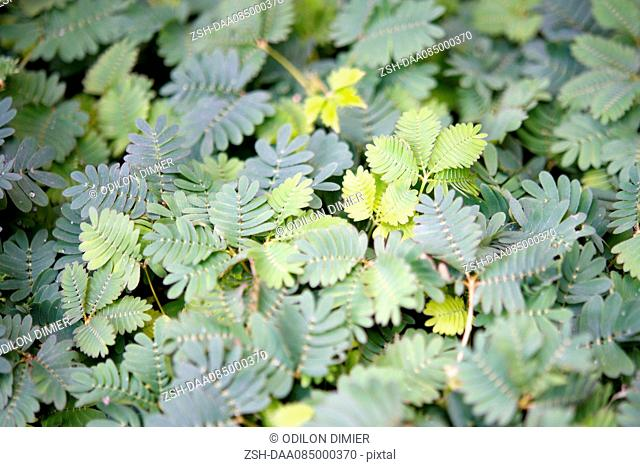 Delicate mimosa foliage, full frame