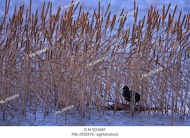 Crane between reed in lake
