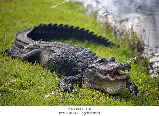 American alligator (Alligator mississippiensis), lying with open mouth in a meadow, USA, Florida, Everglades National Park, Miami
