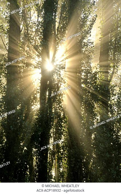 Sunrise god-beams through fog and trees, Burnaby Lake Regional Park, Burnaby, British Columbia, Canada