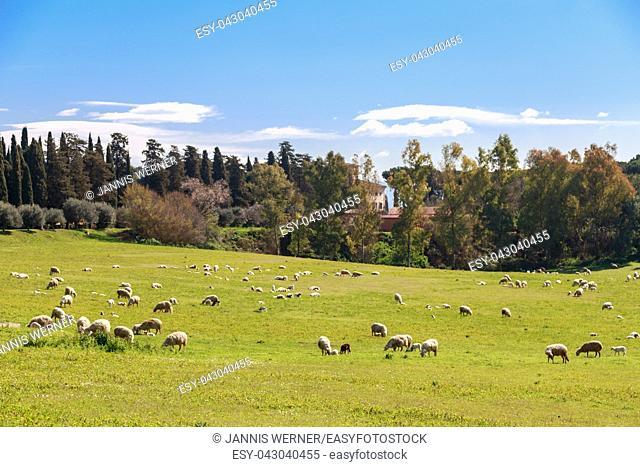Flock of sheep grazes near Via Appia Antica in Rome, Italy