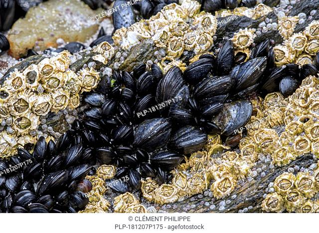 Live blue mussels / common mussels (Mytilus edulis) in mussel bed and barnacles on rock exposed on beach at low tide