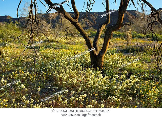 Browneyes (Chylismia claviformis) on Cottonwood Canyon Bajada, Joshua Tree National Park, California