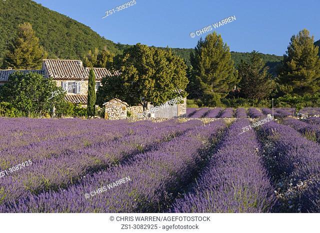Lavender fields near Banon Forcalquier Alpes-de-Haute-Provence Provence-Alpes-Cote d'Azur France