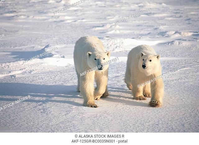 Two Polar Bears Walking on Pack Ice Churchill Canada