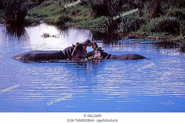 Hippopotamus, Ngorongoro, Tanzania