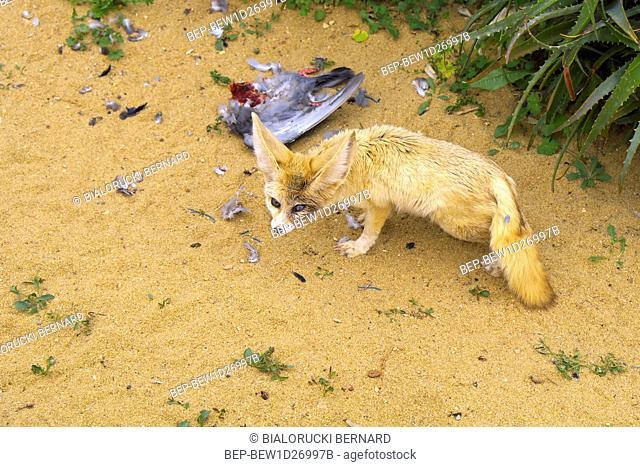 Fenek pustynny - lac. Vulpes zerda - w ogrodzie zoologicznym Fennec fox, Vulpes zerda, in a zoological garden