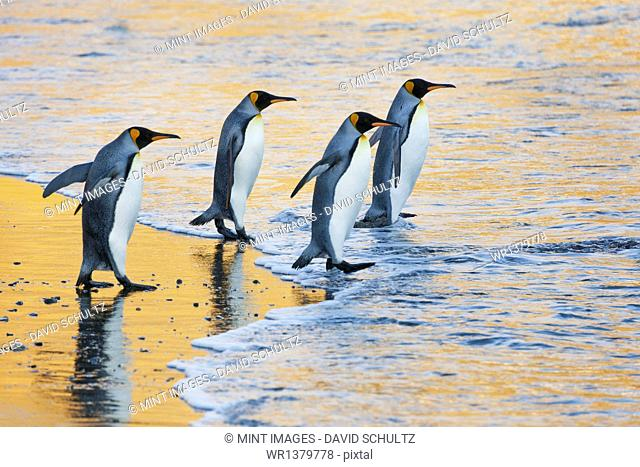 A group of four adult King penguins at the water's edge walking into the water, at sunrise. Reflected light