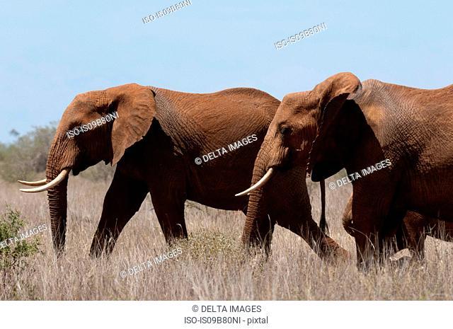 Elephants (Loxodonta africana), Lualenyi Game Reserve, Tsavo, Kenya
