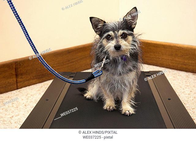 Small dog sitting on treadmill