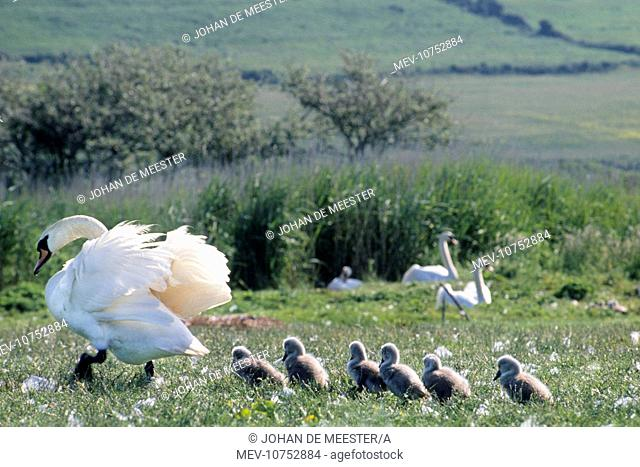 Mute Swan - with chicks in field (Cygnus olor)