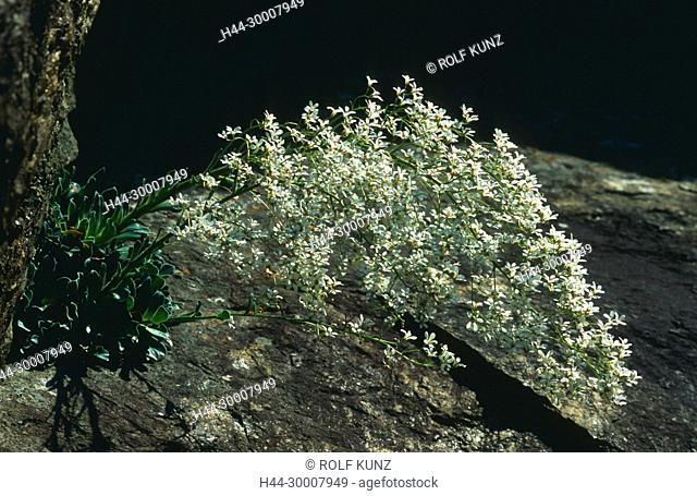 Strauss-Steinbrech, Saxifraga cotyledon, Saxifragaceae, Steinbrech, in Felswand, blühend, Blüten, Blume, Pflanze, La Gola del Monte Piottino, Leventina