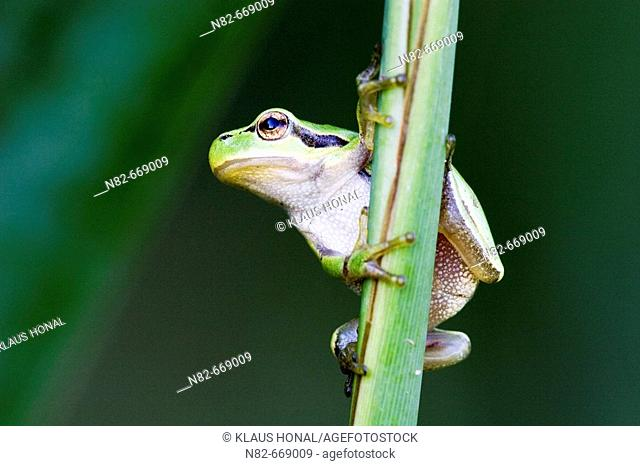 Common Tree Frog (Hyla arborea) climbs on reed