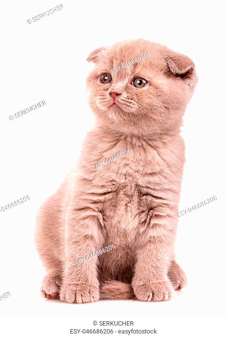 Portrait of cute scottish fold kitten playing against a white background