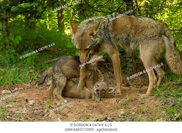 Coyote pups (Canis latrans) fighting as mom watches, Pine County, MN captive