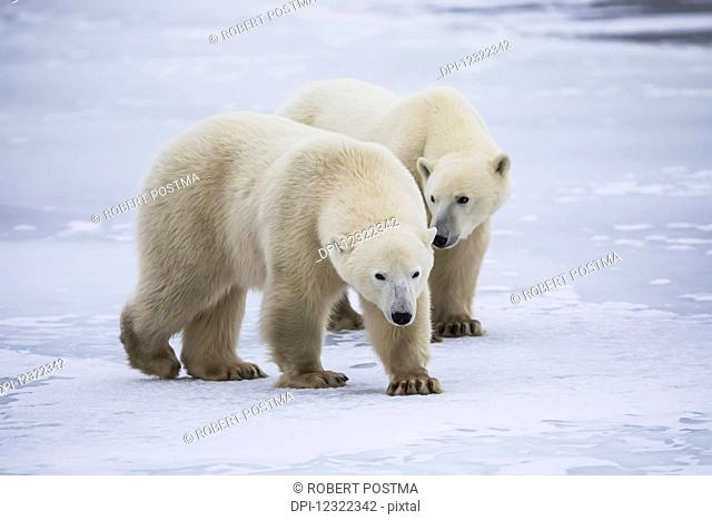 Two young polar bears (ursus maritimus) walking on the ice, Hudson Bay, near Churchill; Yukon, Canada