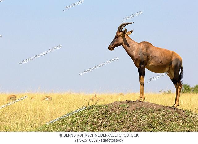 Topi (Damaliscus lunatus jimela) guard standing on termite mound, Masai Mara, Kenya