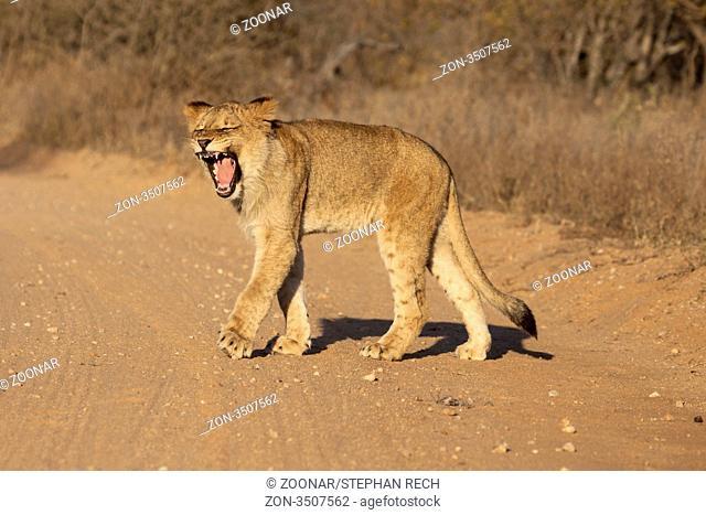 Löwe Panthera leo - yawning lion Panthera leo