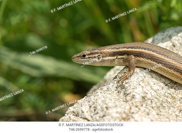 Red-tailed lizard (Acanthodactylus erythrurus). Photographed in Casillas. Avila