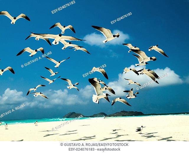 grup fly sky 'Bonaparte's Gull (Chroicocephalus philadelphia), archipelago Los Roques Venezuela'
