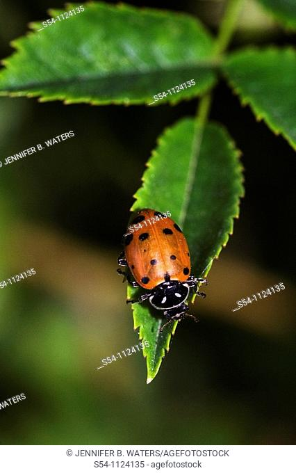A ladybug on a leaf, the Hippodamia convergens, or convergent lady beetle