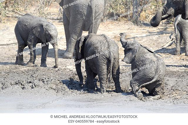 Elephant calf taking a mudbath, Moremi - Botswana