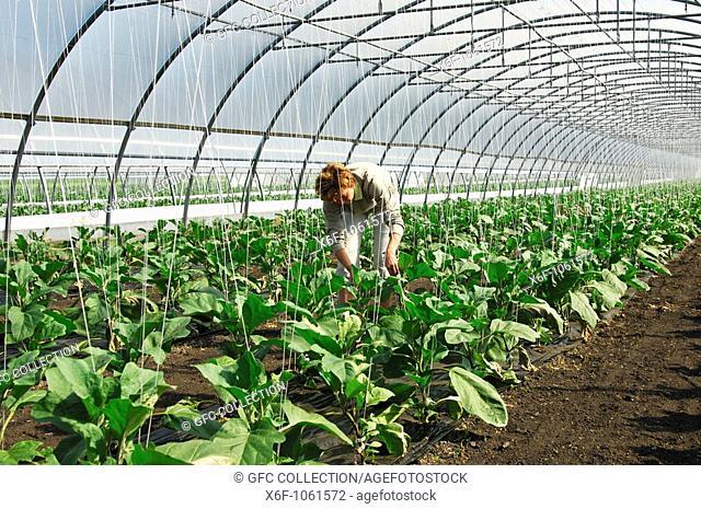 Female gardener at work in a greenhouse for egg plants, vegetable-growing area Grosses Moos, Seeland region, Switzerland