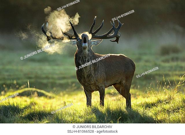 Red Deer (Cervus elaphus). Stag bellowing at sunrise during rut, Richmond Park, London, England