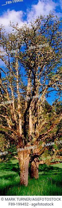 Oregon White Oak (Quercus garryana). Oregon. USA