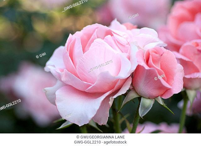 ROSA 'PARIS DE YVES ST. LAURENT' HYBRID TEA ROSE