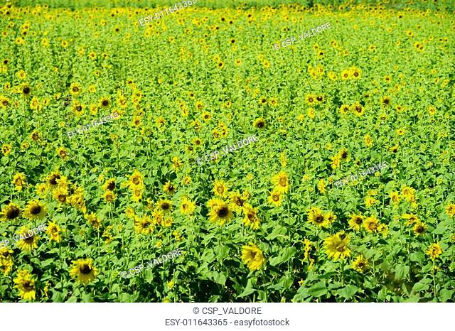 Sunflowers field in Lopburi, Thailand