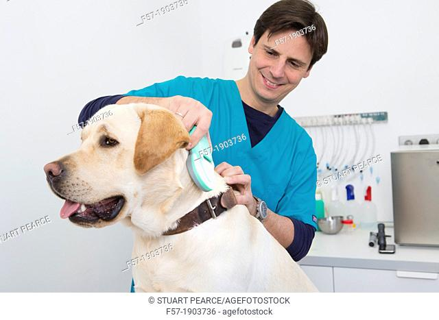 Veterinarian checks the microchip implant of a Labrador Retiever with a scanner