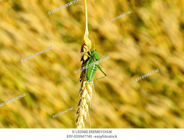 Isophia. Grasshopper is an isophy on a wheat spikelet. Isophya