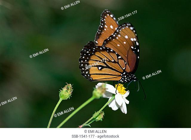 Queen ButterflySpanish Needle