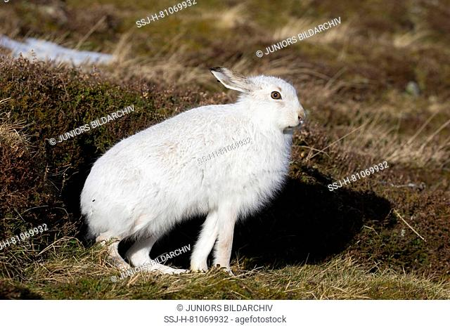 Mountain Hare (Lepus timidus). Adult in white winter coat (pelage) in heath, stretching. Cairngorms National Park, Scotland