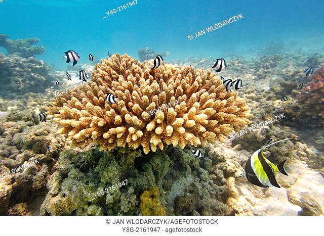 Shallow coral reef, Maldives, Indian Ocean