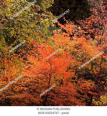 Maple trees in a forest, Zion National Park, Utah, USA