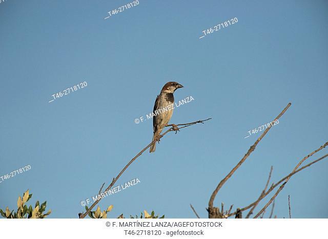 House Sparrow (Passer domesticus). Bosque del Sur, Madrid Province, Spain