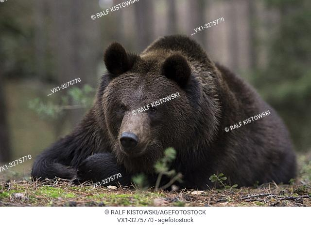 Brown Bear ( Ursus arctos ), young adolescent, lying / resting in the undergrowth of a pine forest, watching, Europe