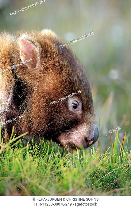 Common Wombat (Vombatus ursinus hirsutus) adult, close-up of head, feeding, Wilson's Promontory N.P., Victoria, Australia, November