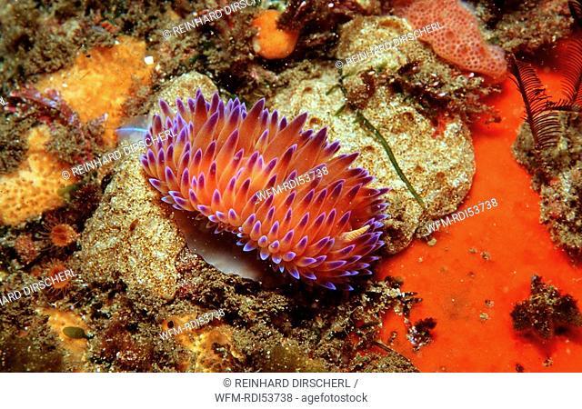 Nudibranche, Godiva quadricolor, Tsitsikamma National Park Indian Ocean, South Africa