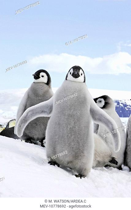 Emperor Penguin - chick flapping wings (Aptenodytes forsteri)