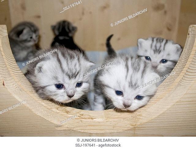 British Shorthair. Kittens (3 weeks old) in whelping pen. Germany