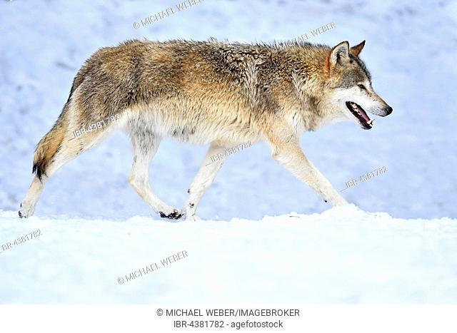 Eastern Wolf, Eastern timber wolf (Canis lupus lycaon) running in snow, Baden-Württemberg, Germany