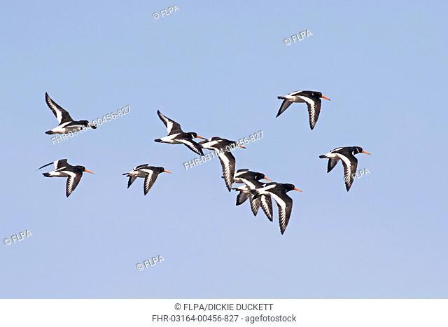 Eurasian Oystercatcher (Haematopus ostralegus) flock, in flight, returning to roost from mudflats, Snettisham, The Wash, Norfolk, England, March