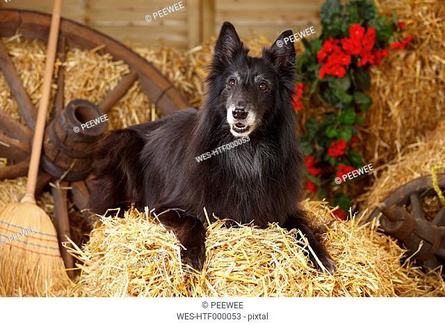 Groenendael, Belgian Shepherd Dog lying at bale of straw